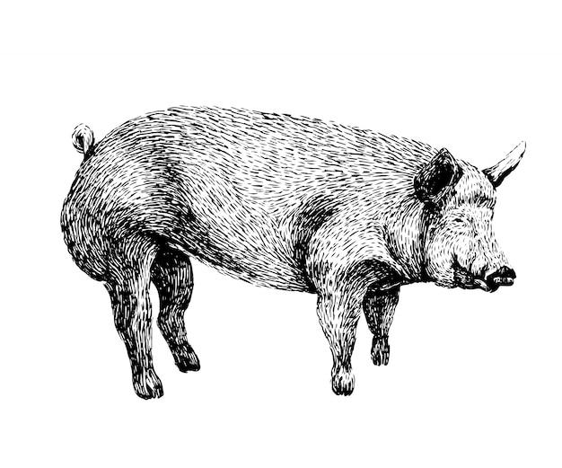 Croquis de porc au style vintage