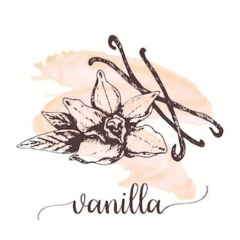 Croquis de vanille sur la peinture à l'aquarelle