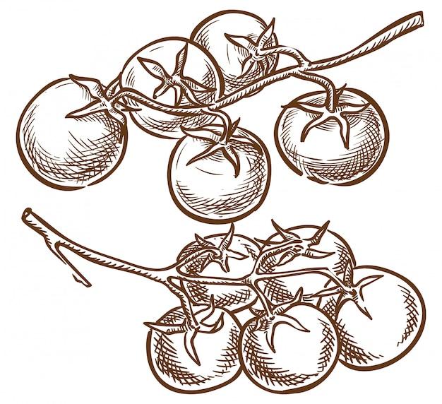 Croquis de vecteur de deux branches de tomates cerises