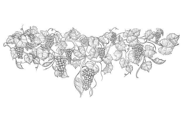 Croquis de vigne.