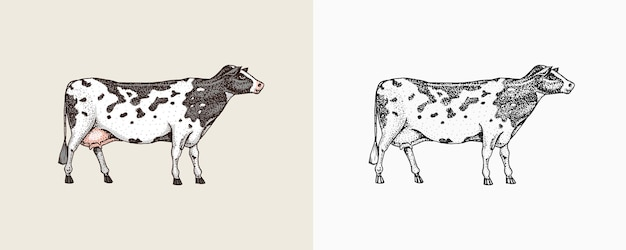 Croquis vintage d'animaux de ferme de vache domestique