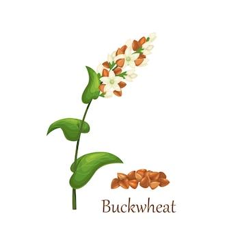 Cultures de céréales d'herbe de sarrasin, plante agricole