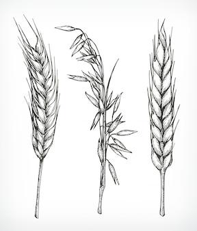 Cultures, croquis de blé et d'avoine, dessin à la main, ensemble