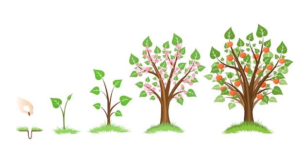 Cycle de croissance des pommiers.