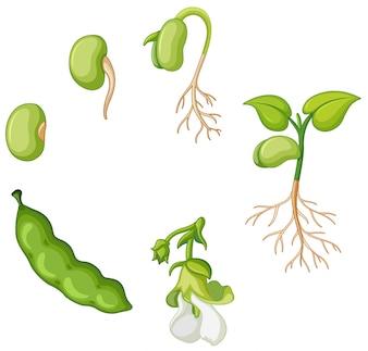 Cycle de vie du haricot vert