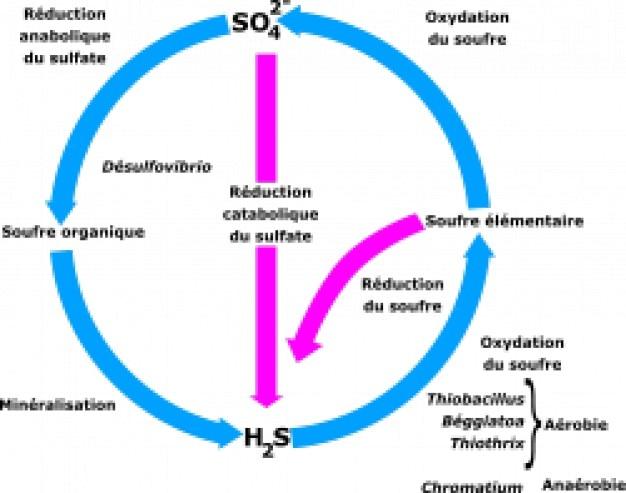 Cycle du soufre
