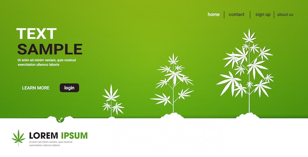 Cycle des étapes de croissance des plantes de cannabis plantation de chanvre médical marijuana plantation industrie concept horizontal copie espace