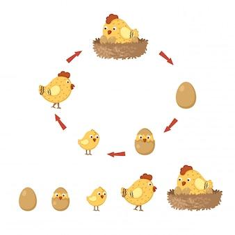 Cycle de poulet