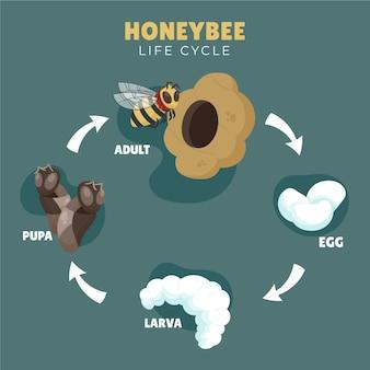 Cycle de vie des abeilles dessinés à la main
