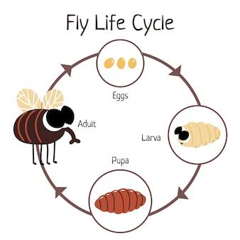 Cycle de vie des mouches dessinées à la main