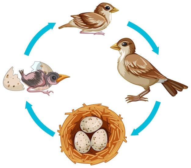 Cycle de vie de l'oiseau sur blanc