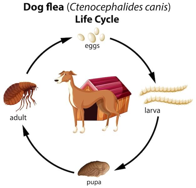 Cycle de vie des puces de chien sur fond blanc