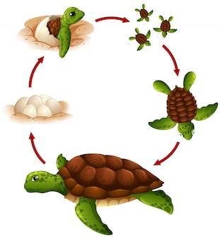 Cycle de vie de la tortue