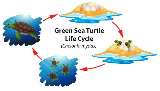 Cycle de vie des tortues vertes