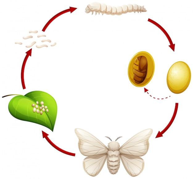 Cycle de vie d'un ver à soie