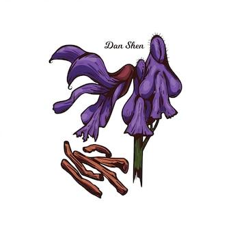 Dan shen sauge chinoise rouge, tan shen isolé. salvia miltiorrhiza, plante vivace danshen à salvia, racine et fleurs violettes utilisées condiment en médecine traditionnelle chinoise