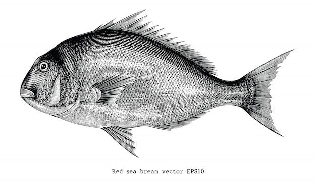 Daurade rouge dessin à la main gravure illustration isolé sur fond blanc