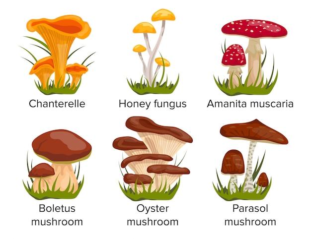 Définir les champignons de dessin animé. chanterelle, champignon de miel, amanita muscaria, cèpes, huître, champignon parasol.