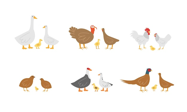 Définir les oiseaux de la ferme. oies, poulets et dindes