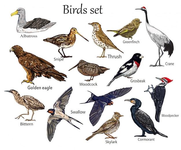 Définir le vecteur, oiseaux isolés illustration vectorielle.