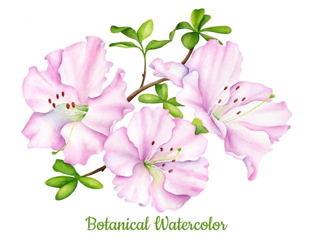 Dessin botanique aquarelle de fleurs d'azalée rose avec des feuilles
