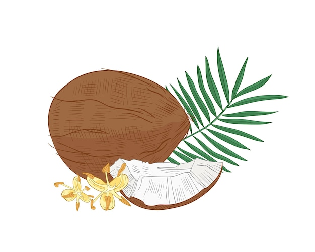 Dessin botanique détaillé de noix de coco, feuillage de palmier et fleurs épanouies isolé sur blanc