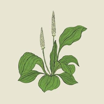 Dessin botanique détaillé de plantain avec des fleurs blanches et des feuilles vertes