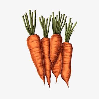 Dessin de carottes biologiques fraîches
