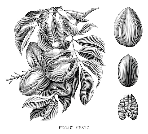 Dessin à la main botanique de noix de pécan style de gravure clipart noir et blanc sur blanc