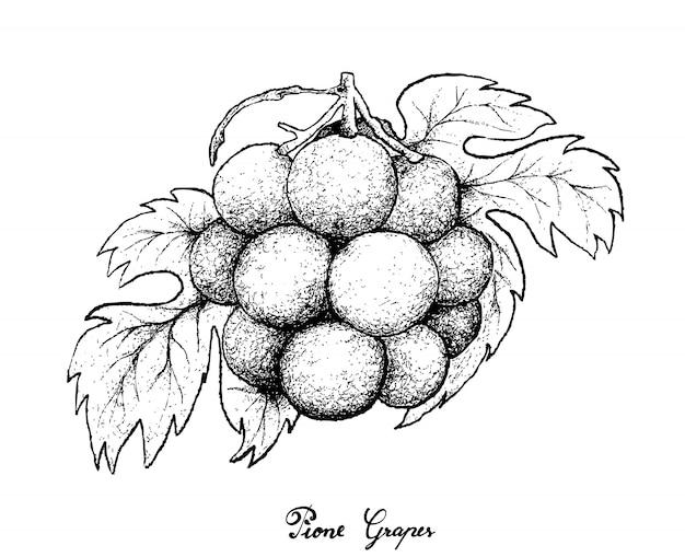 Dessin à la main de raisins pione frais sur fond blanc