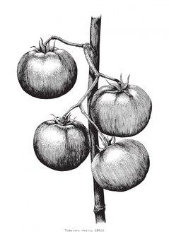Dessin à la main de tomates gravure illustration