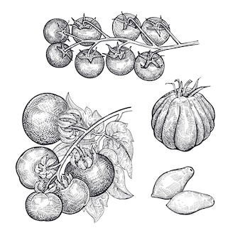 Dessin à la main de tomates végétales.