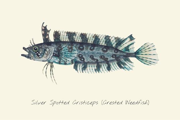 Dessin d'une weedfish à crête