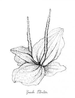 Dessiné à la main de banane plantain sur fond blanc