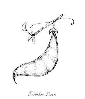 Dessiné à la main de gousses fraîches de dolichos lablab