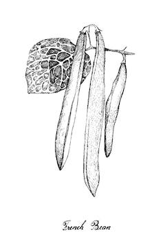 Dessiné à la main de haricots verts ou de haricots français