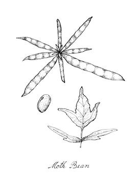 Dessiné à la main de plant de féverole et de gousses