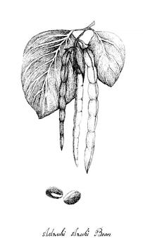 Dessiné à la main de plantes de haricots adzuki