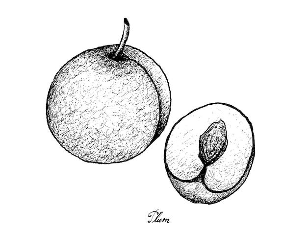 Dessiné à la main de prune fraîche