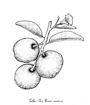 Dessiné à la main de prune de suif frais