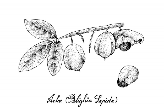 Dessinés à la main de fruits ackee