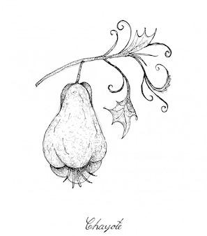 Dessinés à la main de fruits de chayote verte fraîche avec une plante