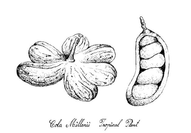 Dessinés à la main de fruits de cola millenii sur un bouquet d'arbres