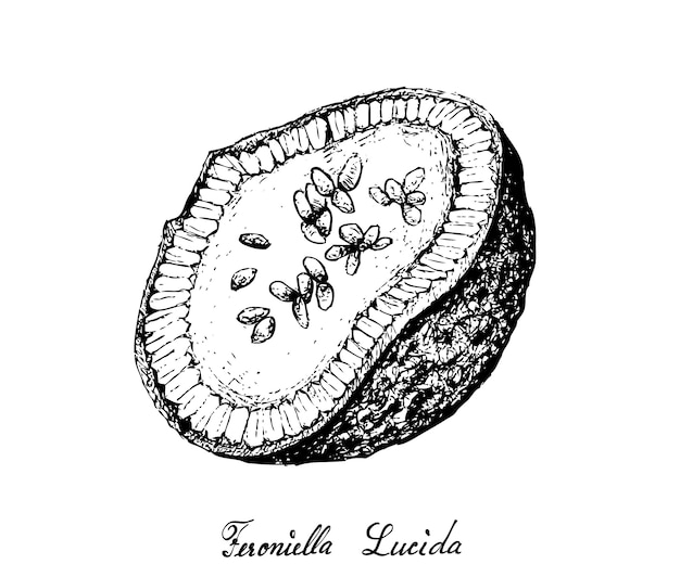 Dessinés à la main de fruits feroniella lucida