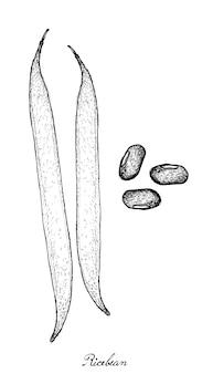 Dessinés à la main des gousses et des grains de haricot de riz