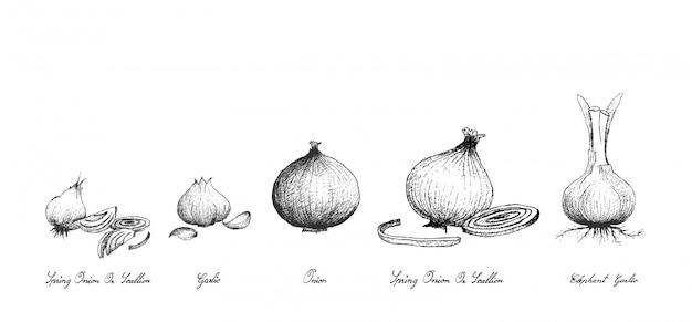Dessinés à la main de légumes-bulbes frais sur fond blanc