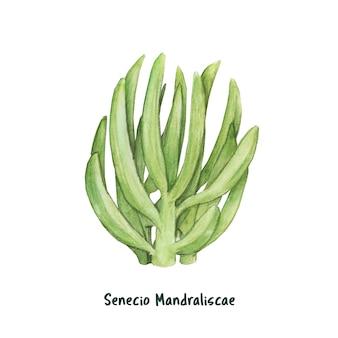 Dessinés à la main senecio mandraliscae succulent
