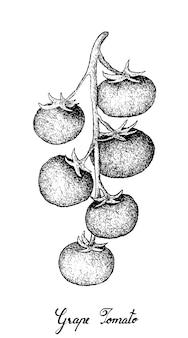 Dessinés à la main de tomates raisins sur fond blanc
