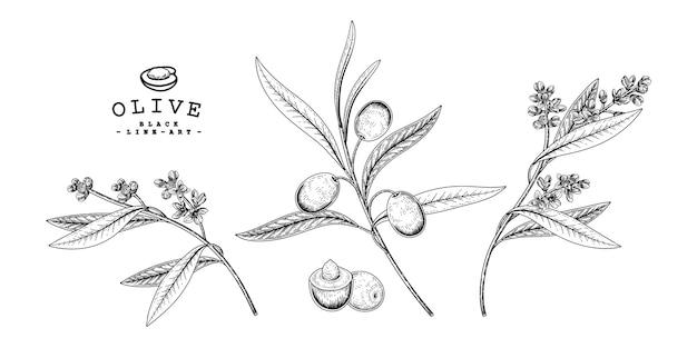 Dessins botaniques d'olive.