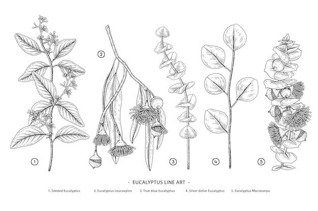 Dessins d'eucalyptus
